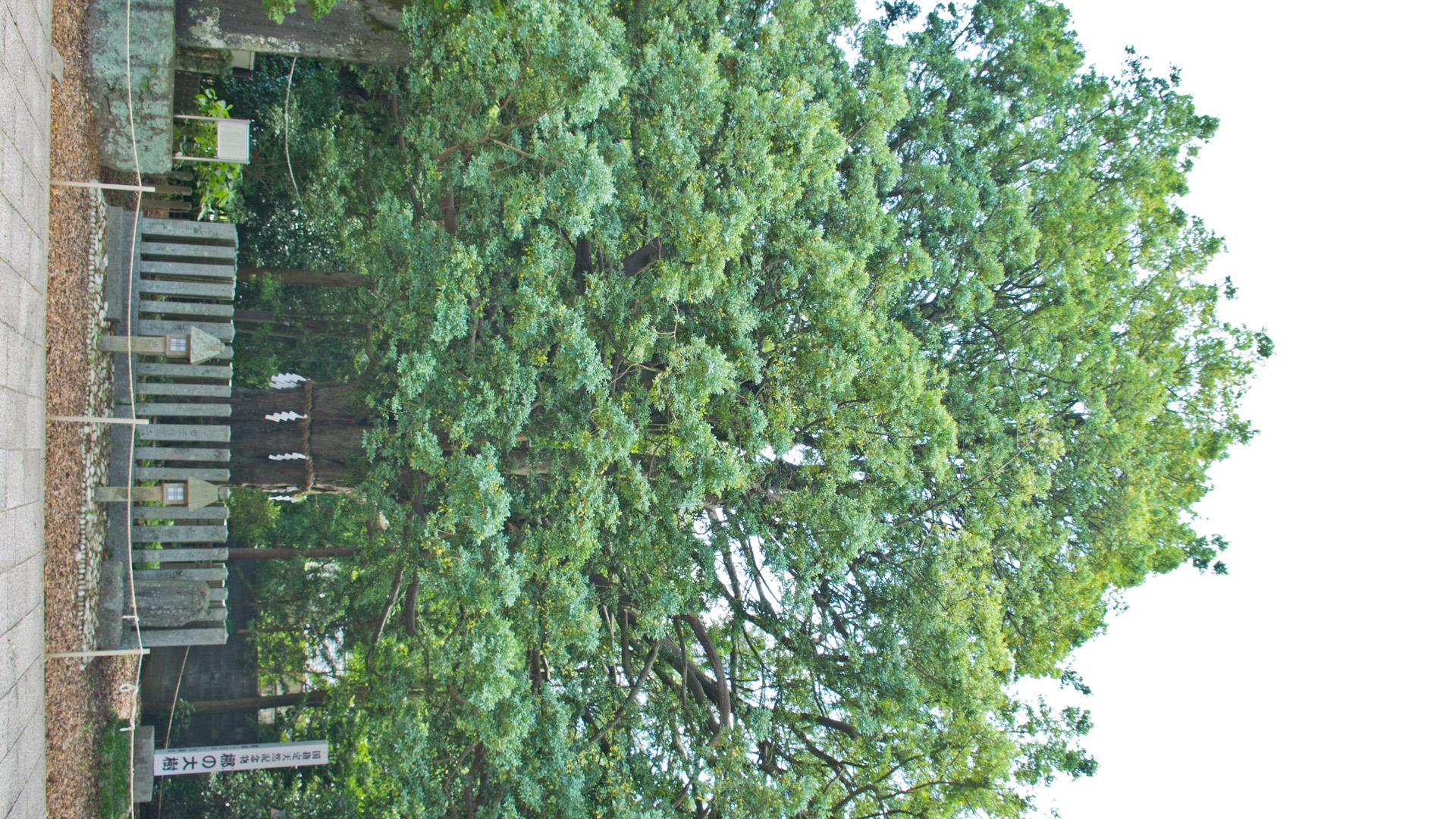熊野速玉大社の「ナギの木」