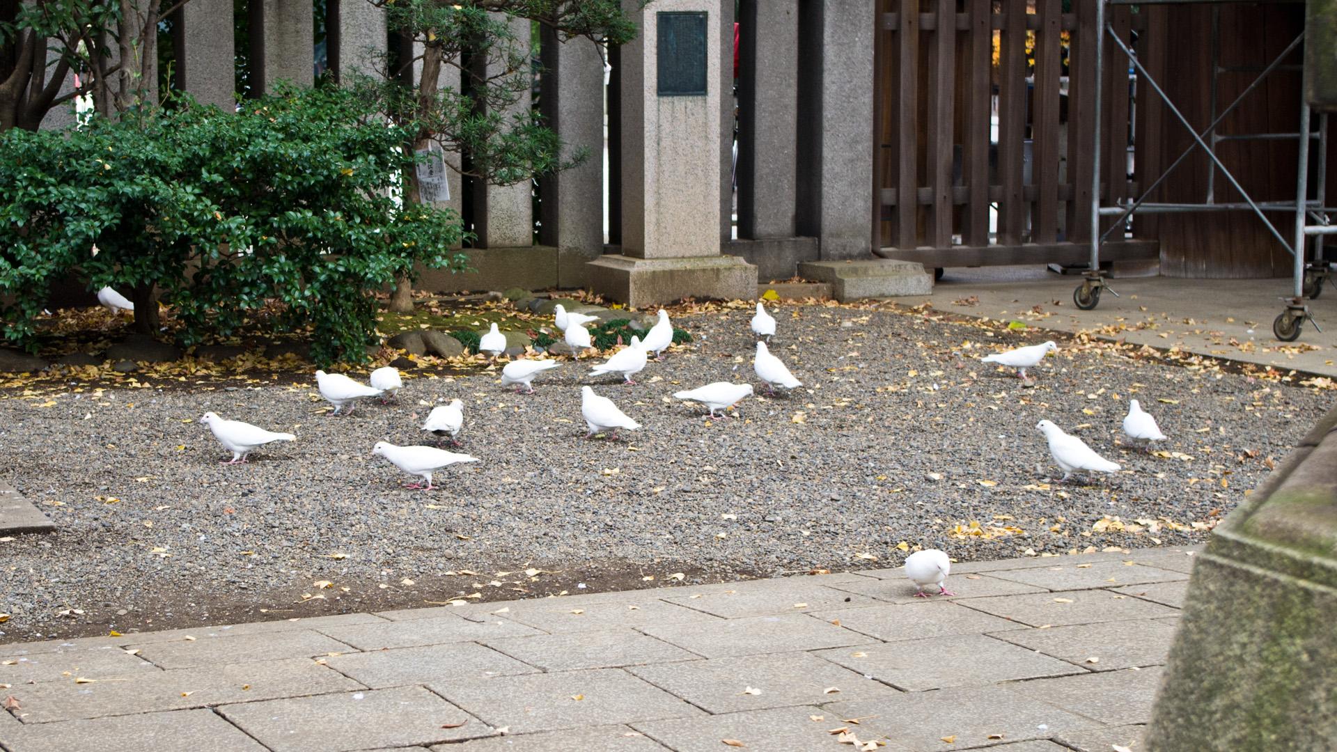 靖国神社の白い鳩