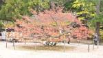 境内の桜の木